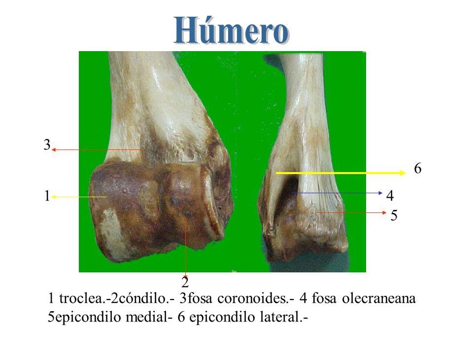 Húmero 3. 6. 1. 4. 5. 2. 1 troclea.-2cóndilo.- 3fosa coronoides.- 4 fosa olecraneana.