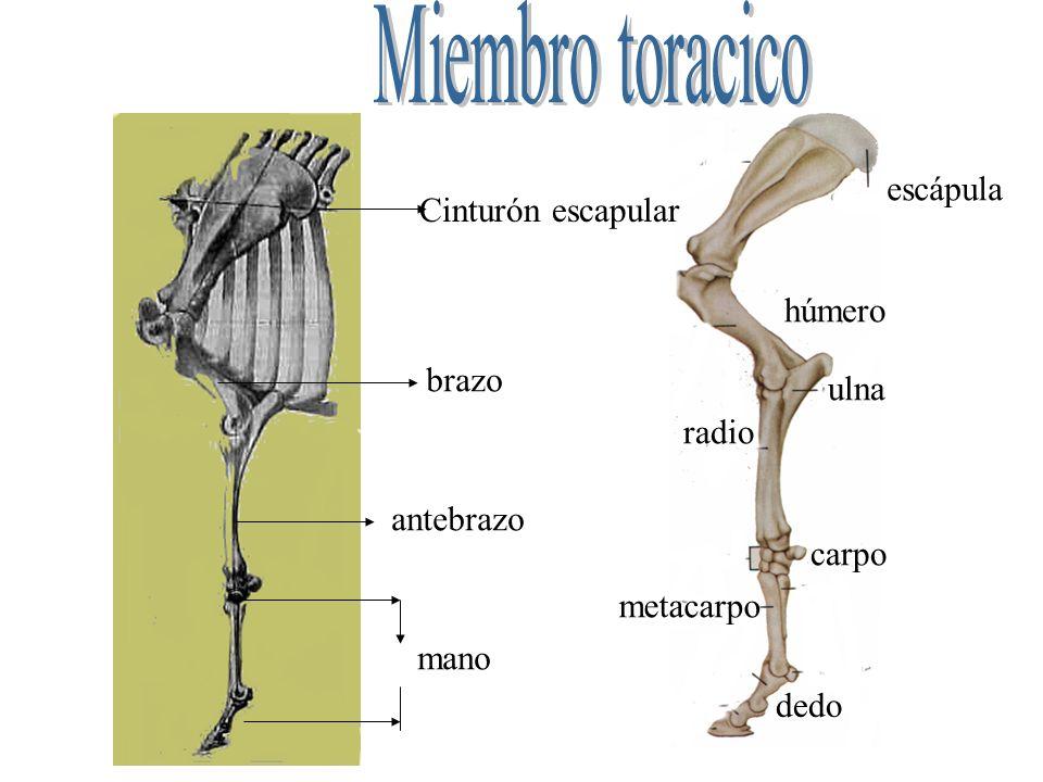 Miembro toracico escápula Cinturón escapular húmero brazo ulna radio