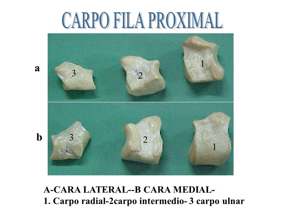 CARPO FILA PROXIMAL a b 1 3 2 3 2 1 A-CARA LATERAL--B CARA MEDIAL-