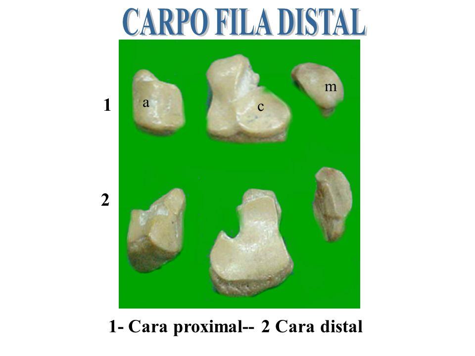 CARPO FILA DISTAL m 1 a c 2 1- Cara proximal-- 2 Cara distal