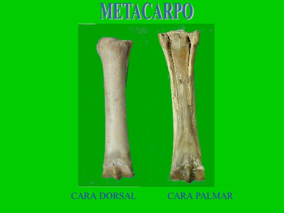 METACARPO CARA DORSAL CARA PALMAR
