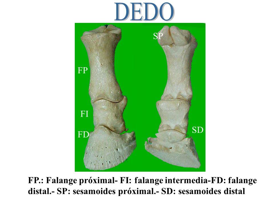 DEDO SP. FP. FI. SD. FD. FP.: Falange próximal- FI: falange intermedia-FD: falange.