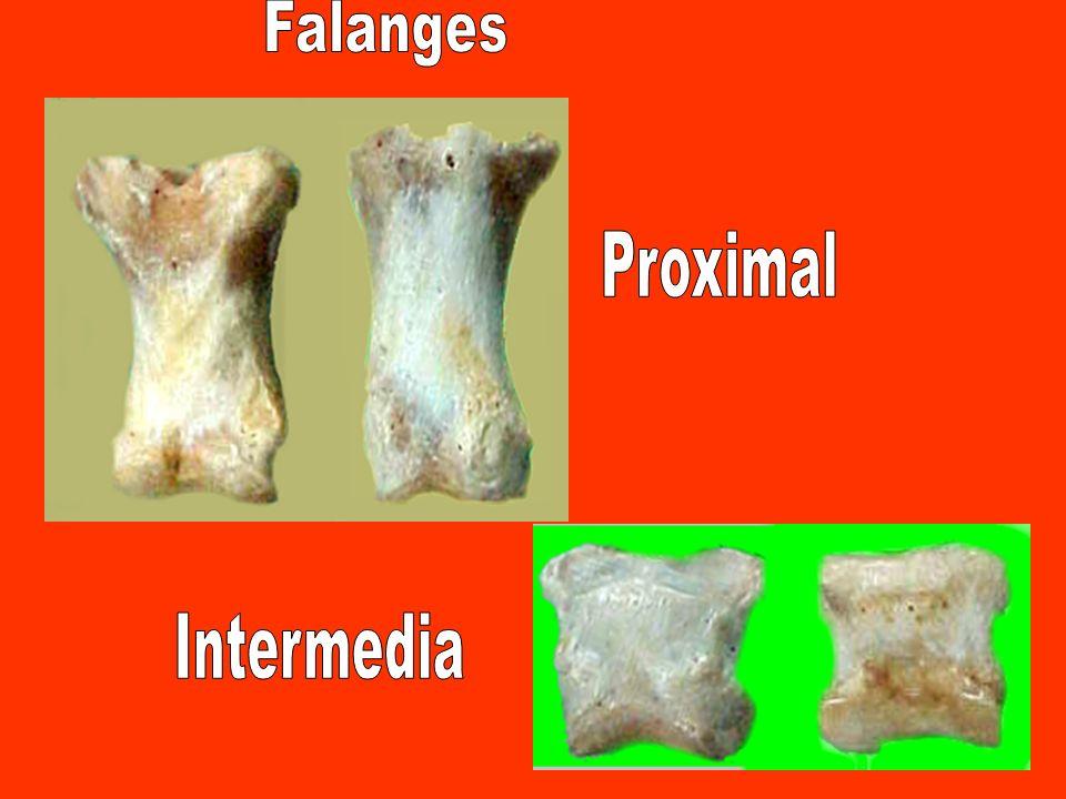 Falanges Proximal Intermedia