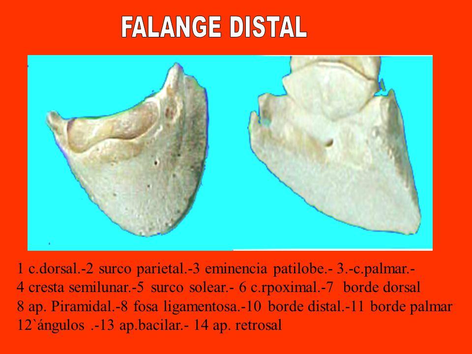 FALANGE DISTAL 1 c.dorsal.-2 surco parietal.-3 eminencia patilobe.- 3.-c.palmar.- 4 cresta semilunar.-5 surco solear.- 6 c.rpoximal.-7 borde dorsal.