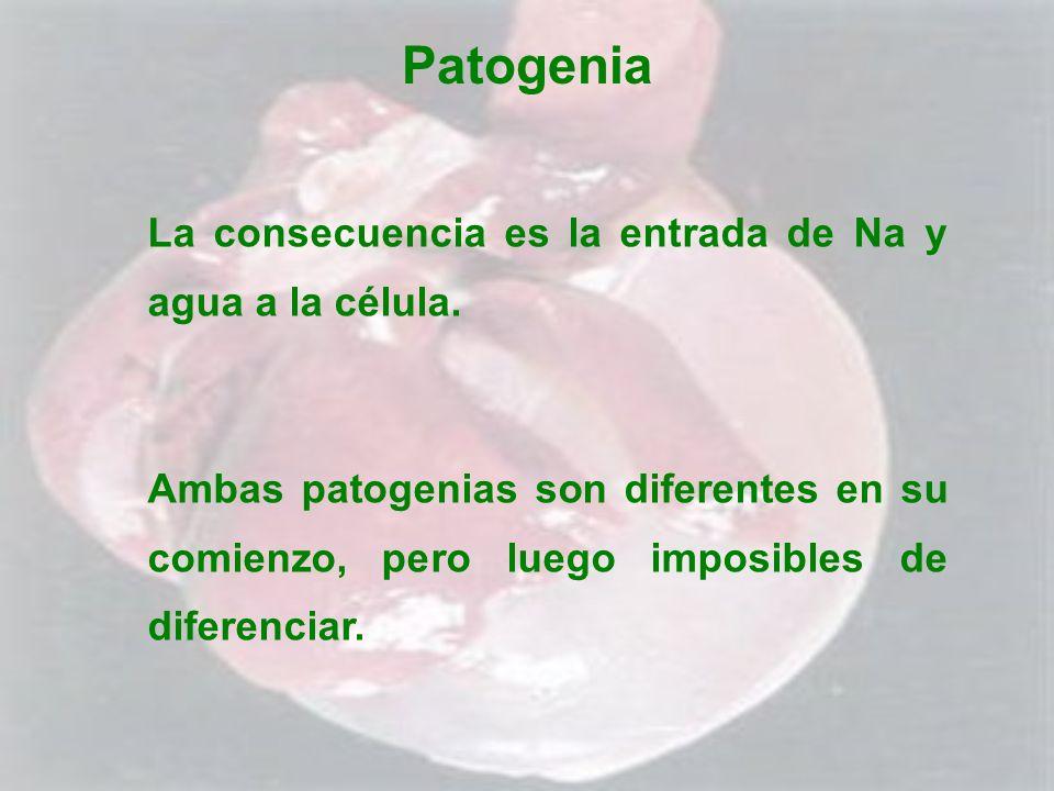 Patogenia La consecuencia es la entrada de Na y agua a la célula.
