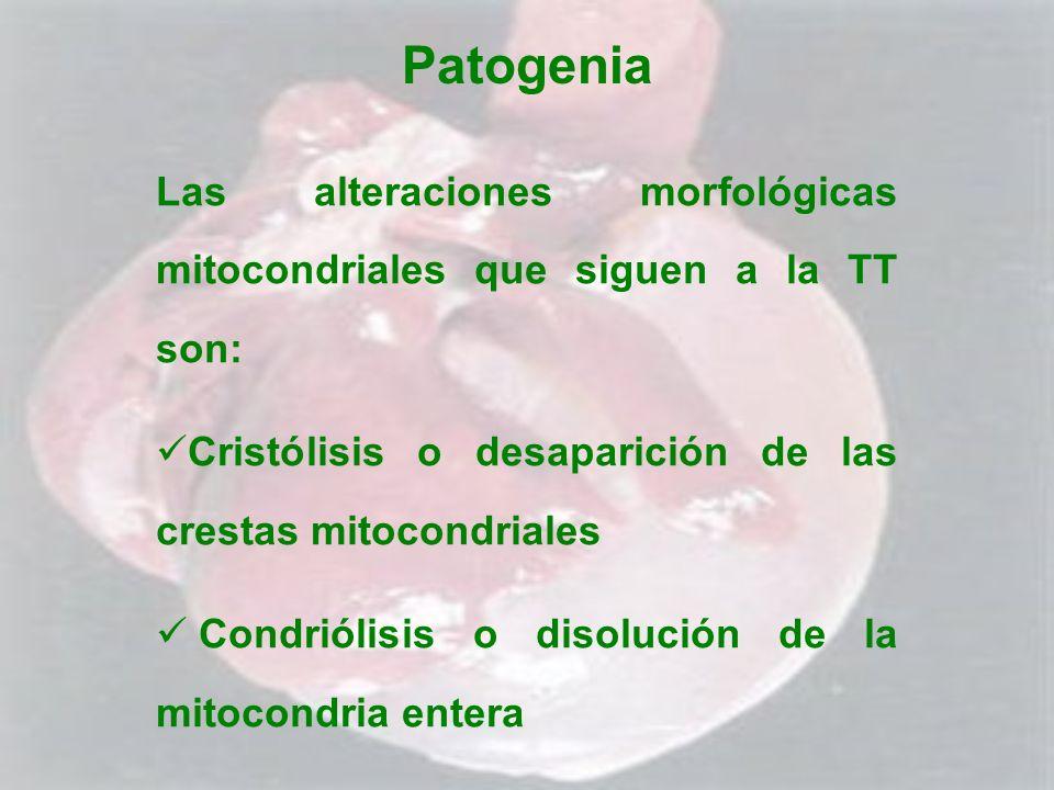 Patogenia Las alteraciones morfológicas mitocondriales que siguen a la TT son: Cristólisis o desaparición de las crestas mitocondriales.