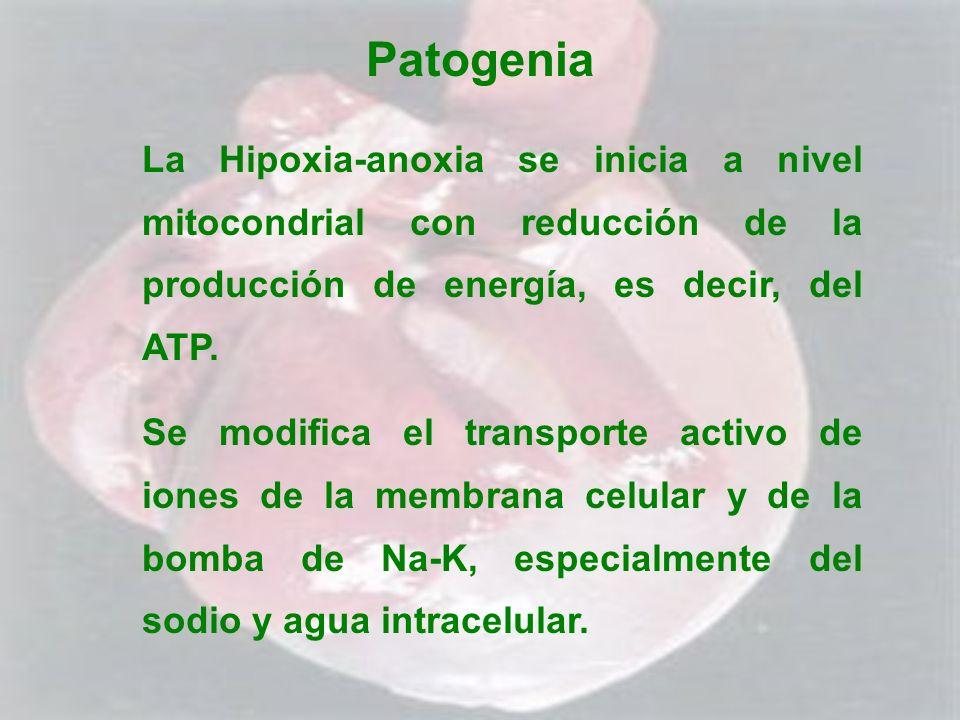 Patogenia La Hipoxia-anoxia se inicia a nivel mitocondrial con reducción de la producción de energía, es decir, del ATP.