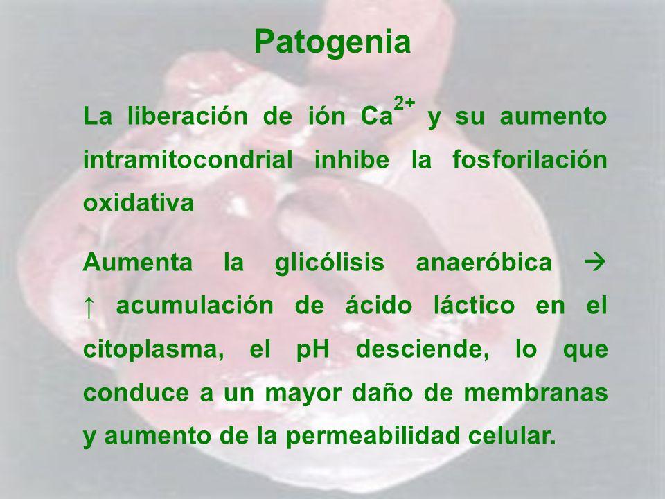 Patogenia La liberación de ión Ca2+ y su aumento intramitocondrial inhibe la fosforilación oxidativa.