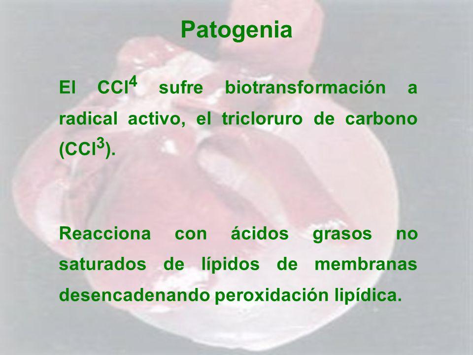 Patogenia El CCl4 sufre biotransformación a radical activo, el tricloruro de carbono (CCl3).