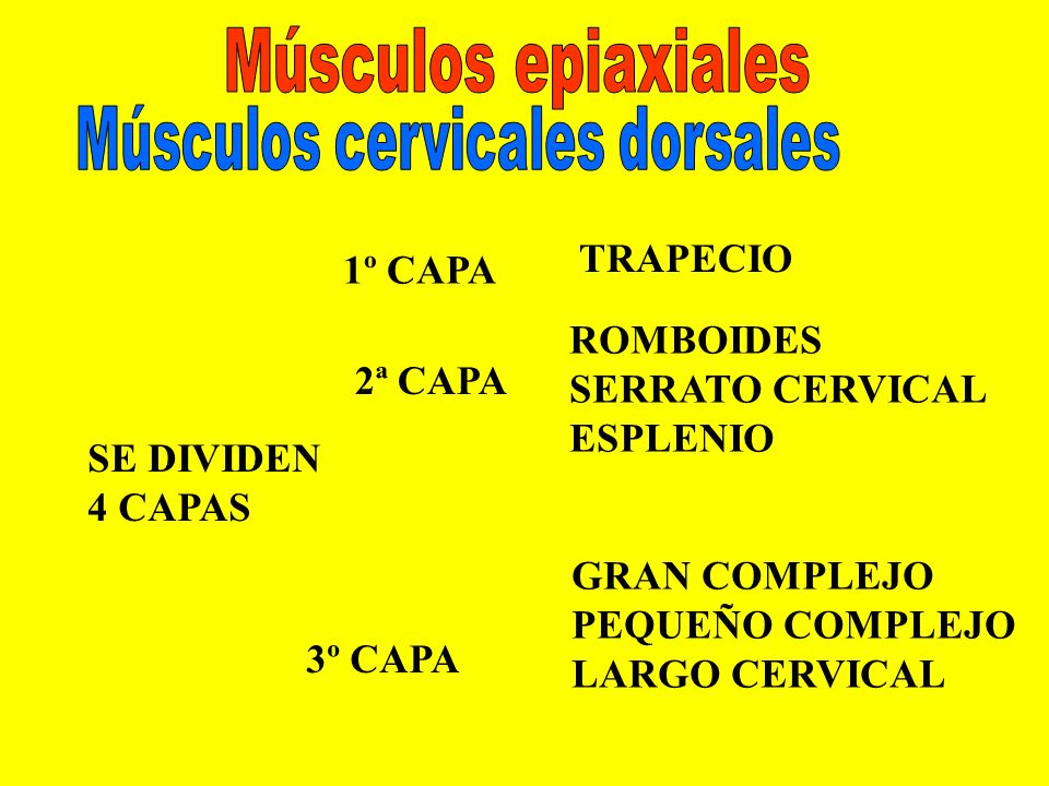Músculos cervicales dorsales