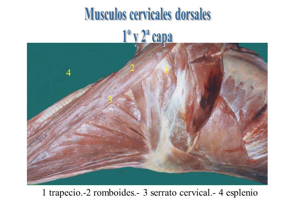 Musculos cervicales dorsales