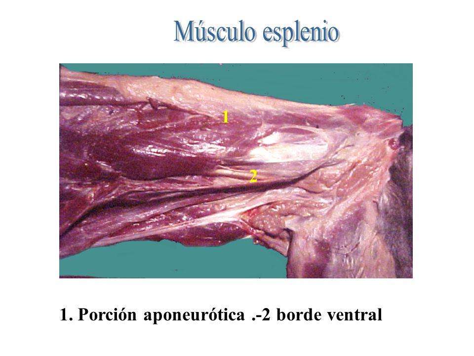 Músculo esplenio 1 2 1. Porción aponeurótica .-2 borde ventral