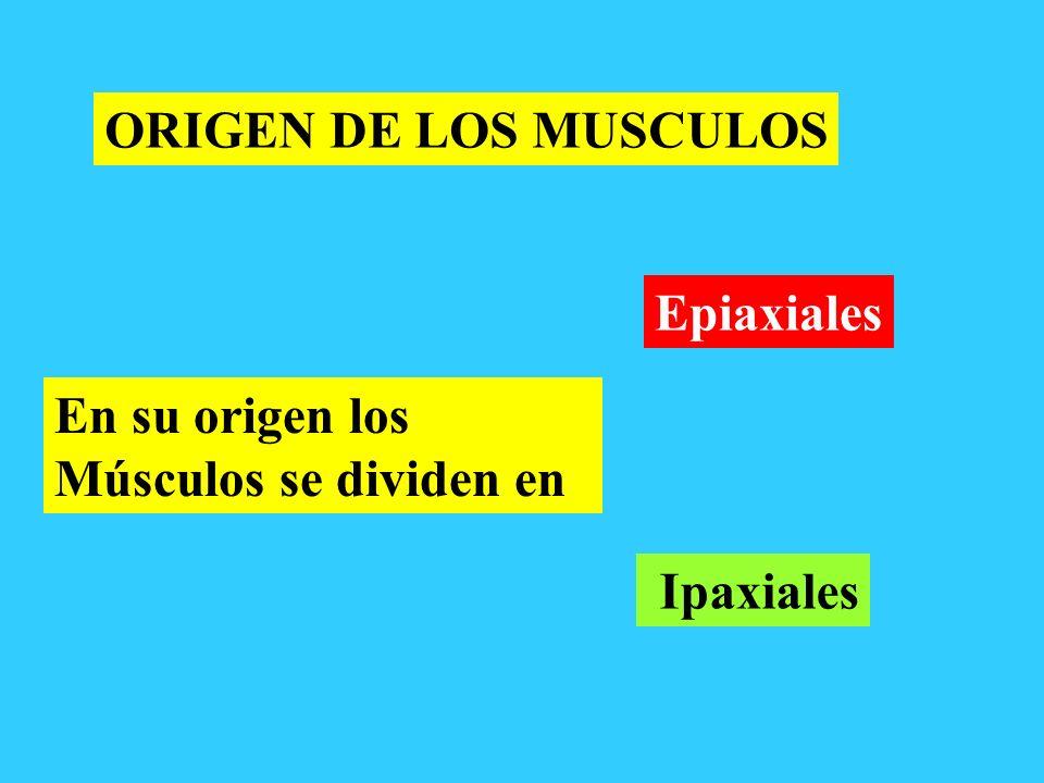 ORIGEN DE LOS MUSCULOS Epiaxiales En su origen los Músculos se dividen en Ipaxiales
