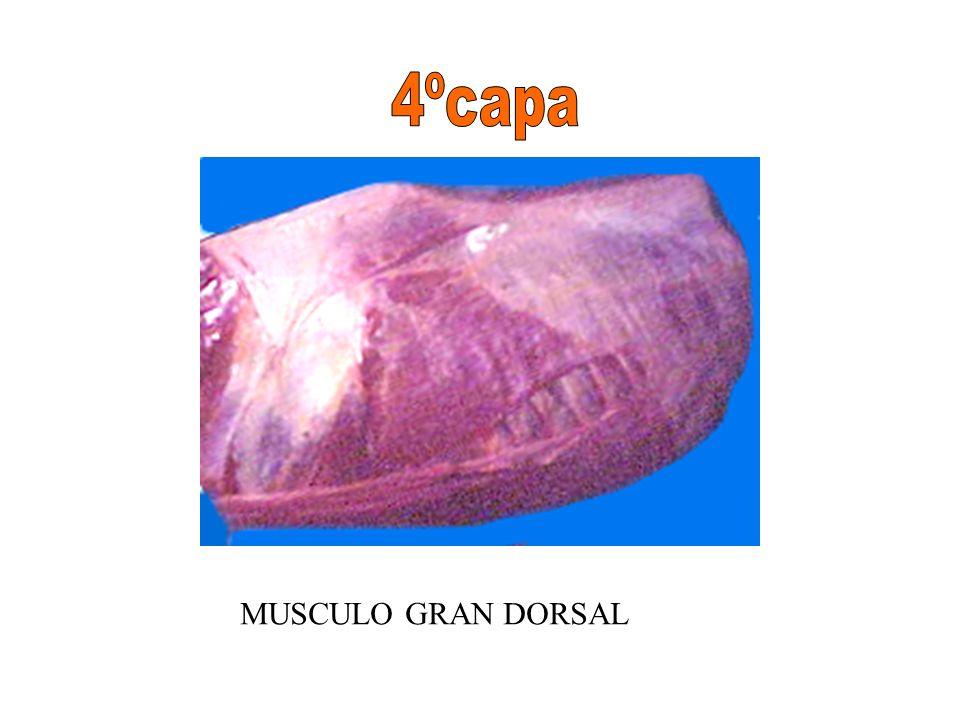 4ºcapa MUSCULO GRAN DORSAL