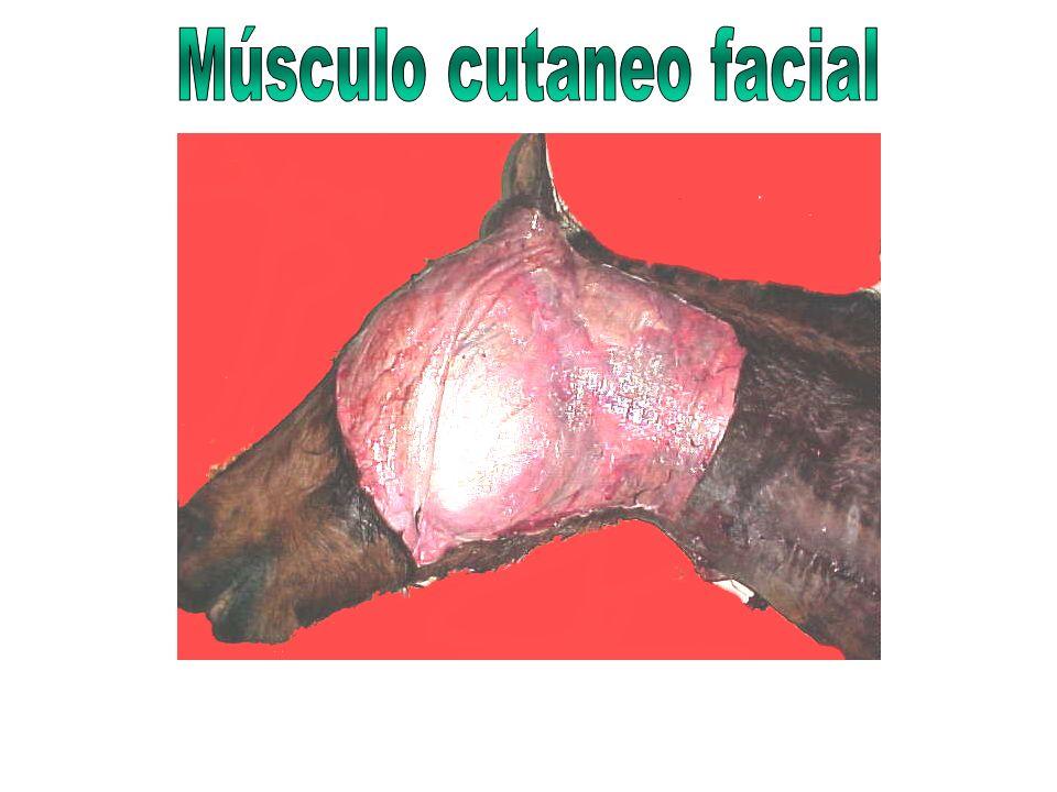 Músculo cutaneo facial