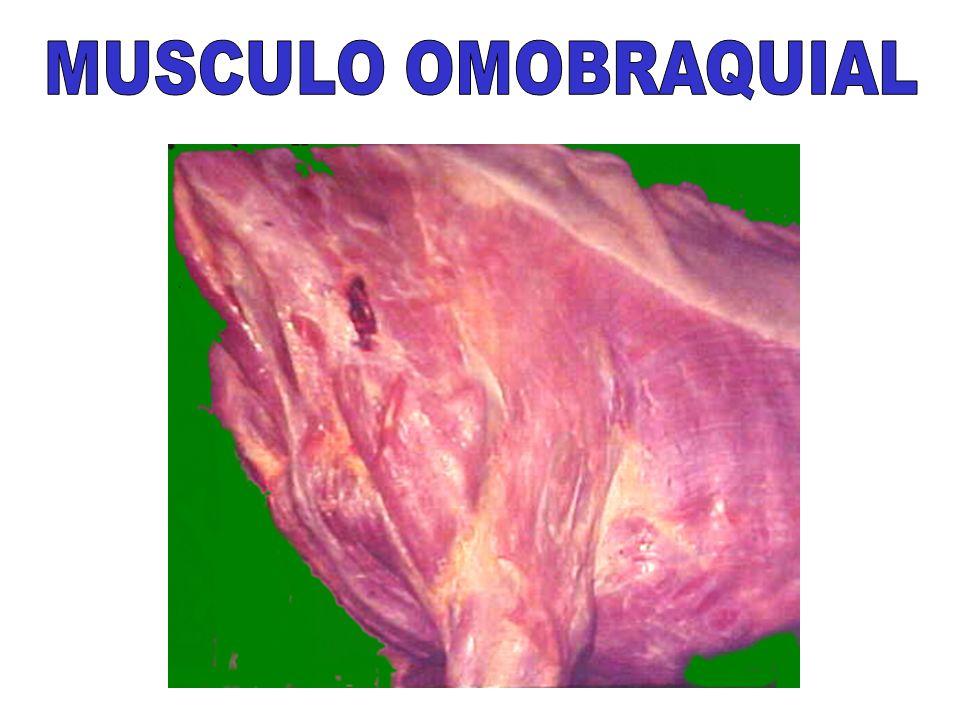 MUSCULO OMOBRAQUIAL