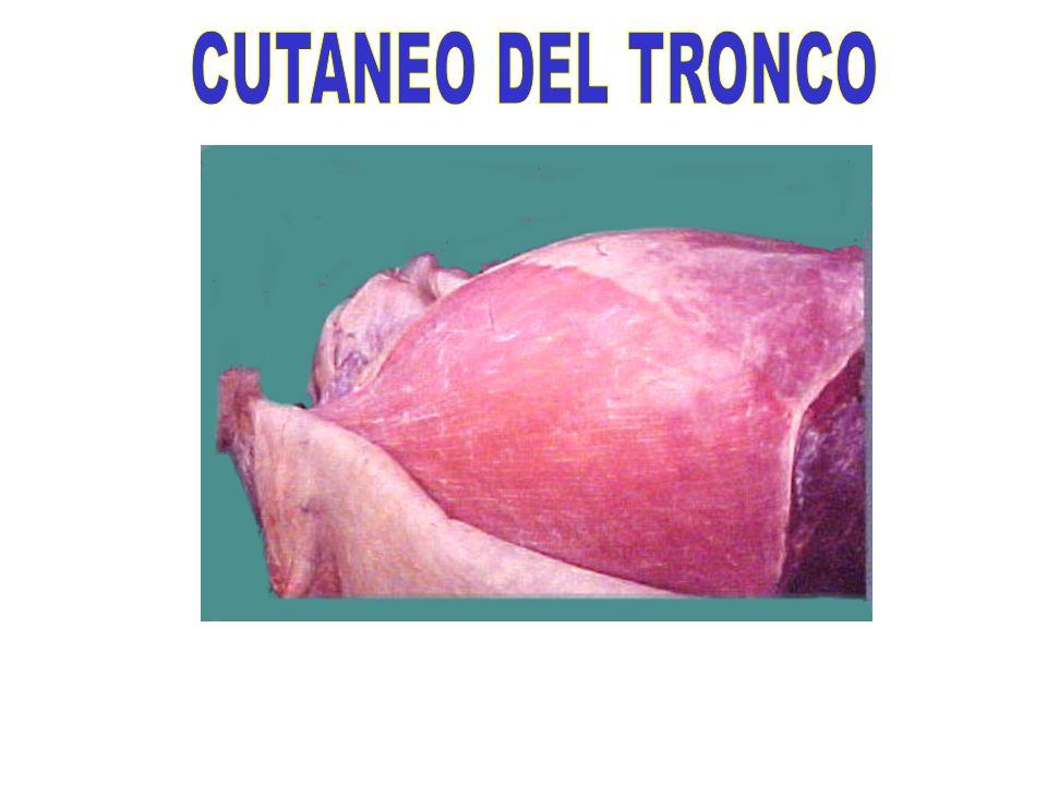 CUTANEO DEL TRONCO