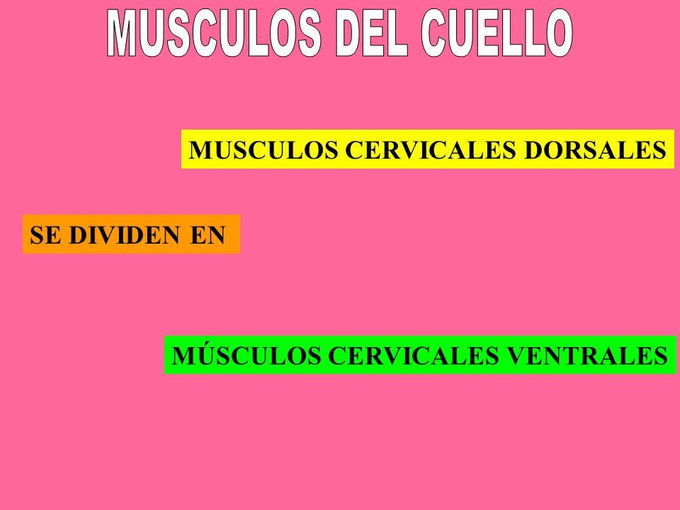 MUSCULOS DEL CUELLO MUSCULOS CERVICALES DORSALES SE DIVIDEN EN