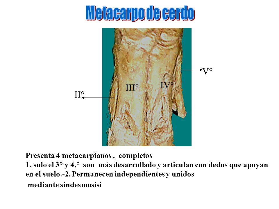 Metacarpo de cerdo V° IV° III° II°