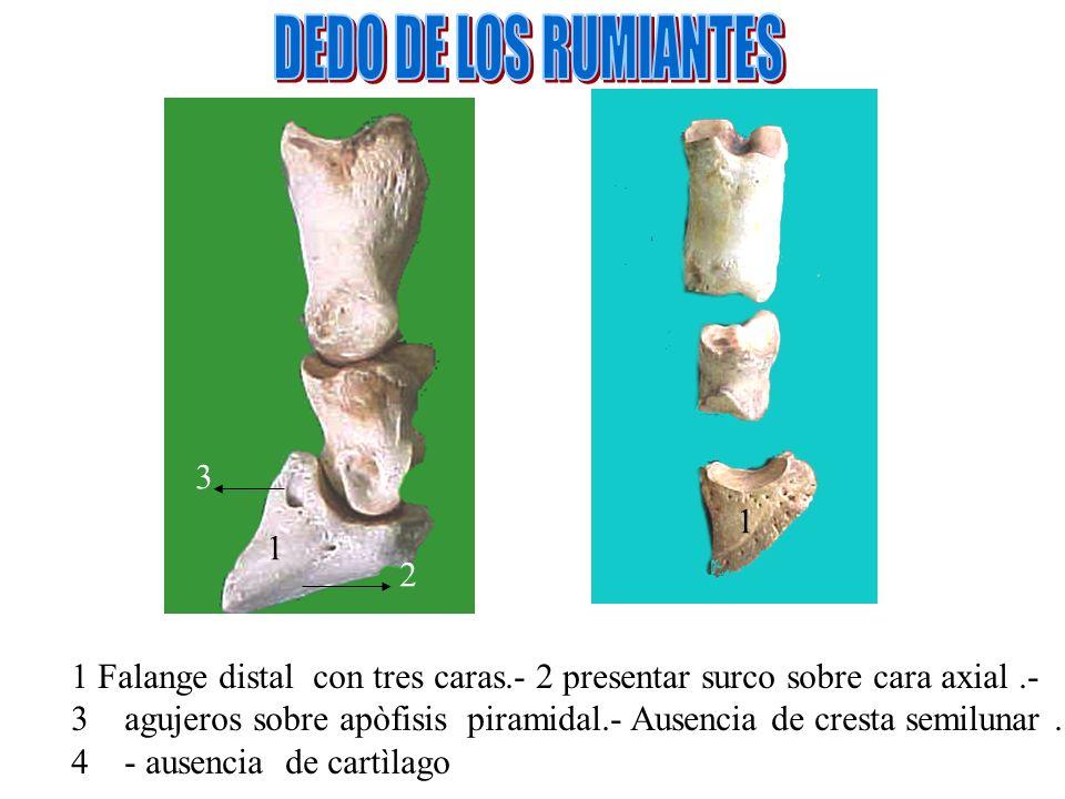 DEDO DE LOS RUMIANTES 3. 1. 1. 2. 1 Falange distal con tres caras.- 2 presentar surco sobre cara axial .-