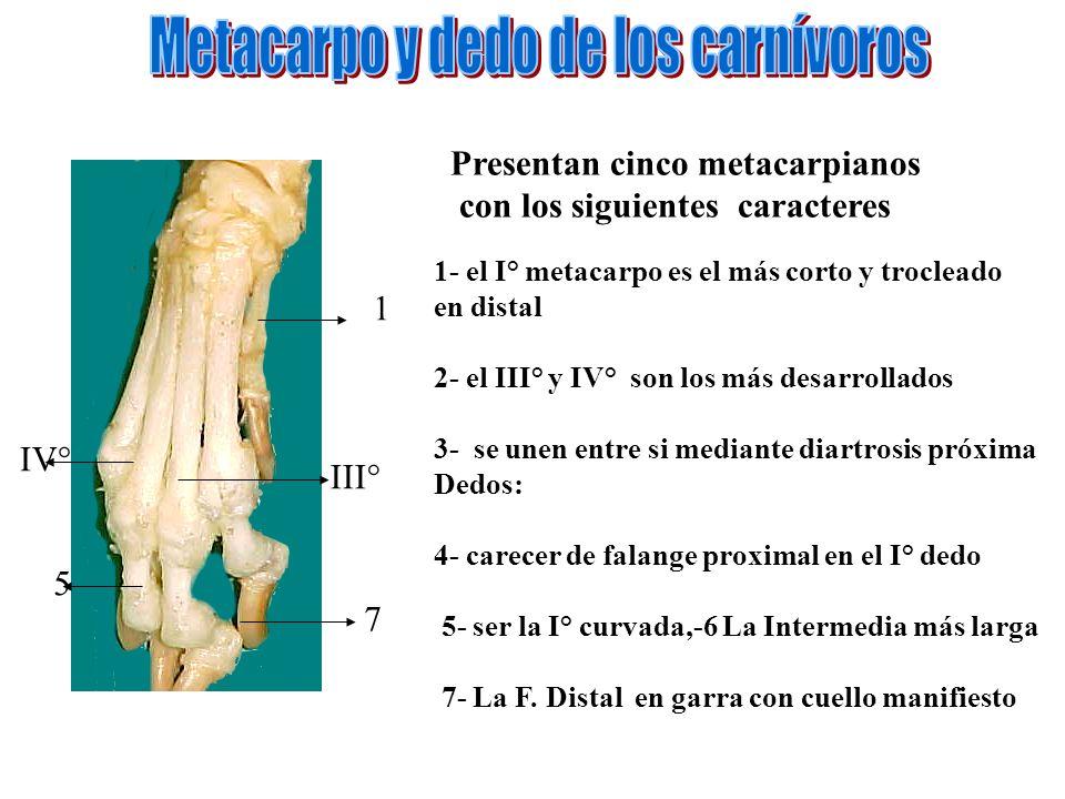Metacarpo y dedo de los carnívoros