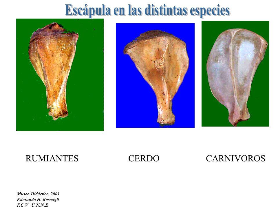 Escápula en las distintas especies