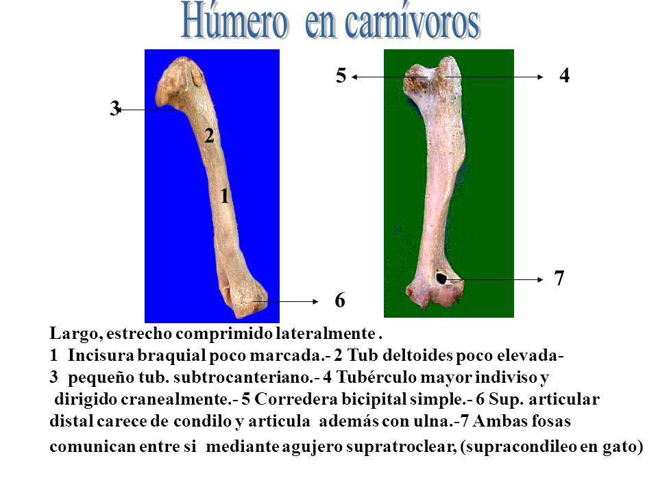 Húmero en carnívoros 5. 4. 3. 2. 1. 7. 6. Largo, estrecho comprimido lateralmente .