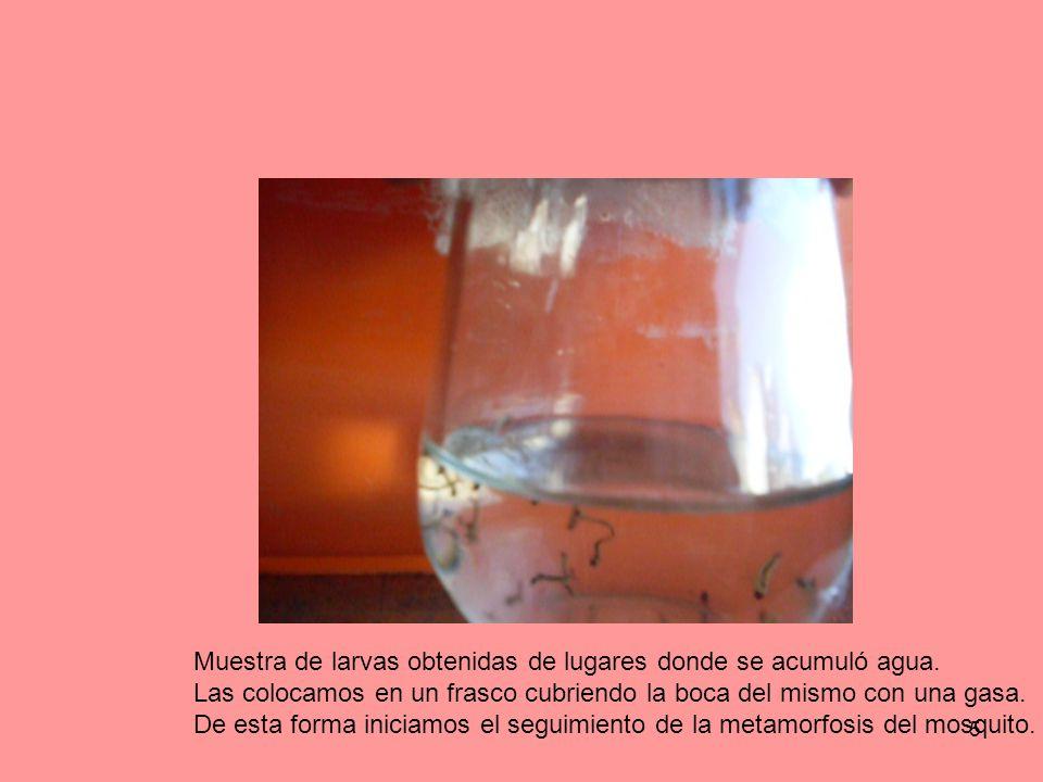Muestra de larvas obtenidas de lugares donde se acumuló agua.
