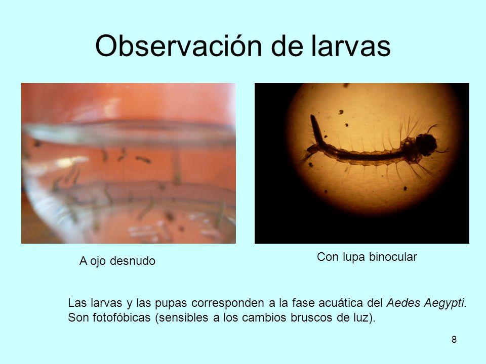 Observación de larvas Con lupa binocular A ojo desnudo