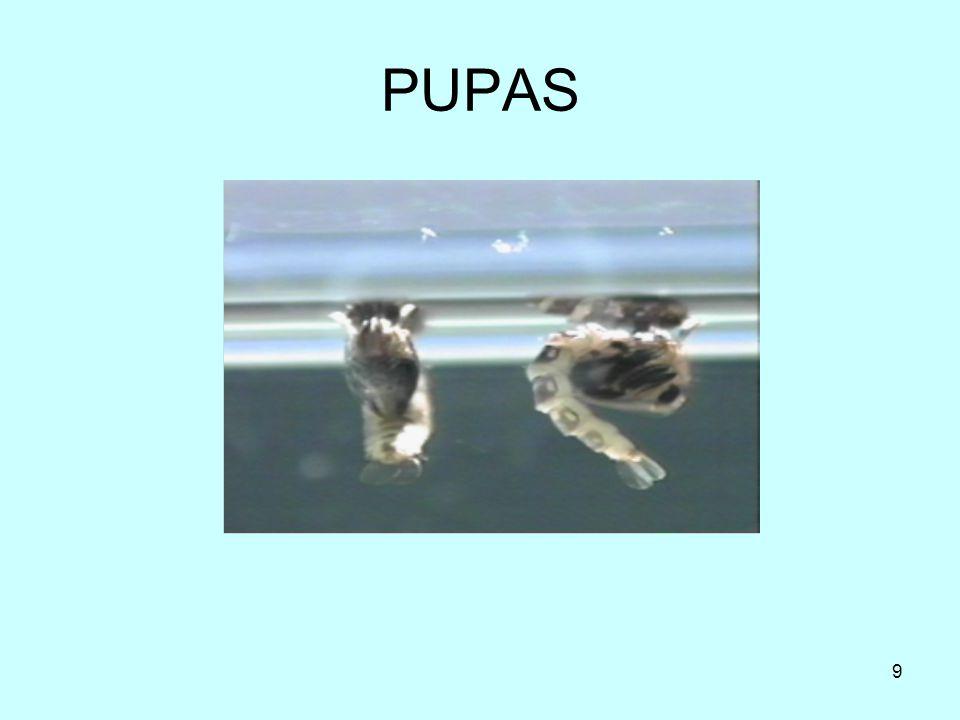 PUPAS