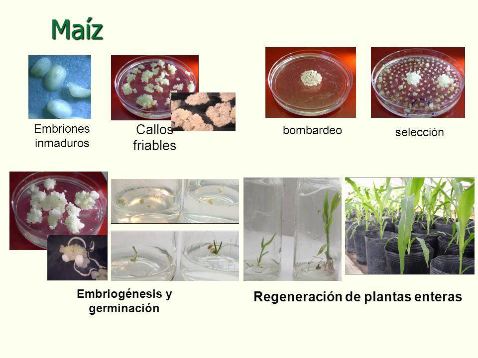 Regeneración de plantas enteras