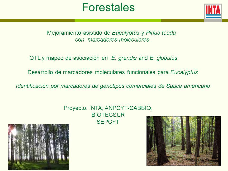 Forestales Mejoramiento asistido de Eucalyptus y Pinus taeda