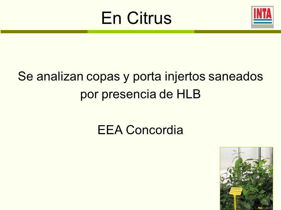 En Citrus Se analizan copas y porta injertos saneados por presencia de HLB EEA Concordia