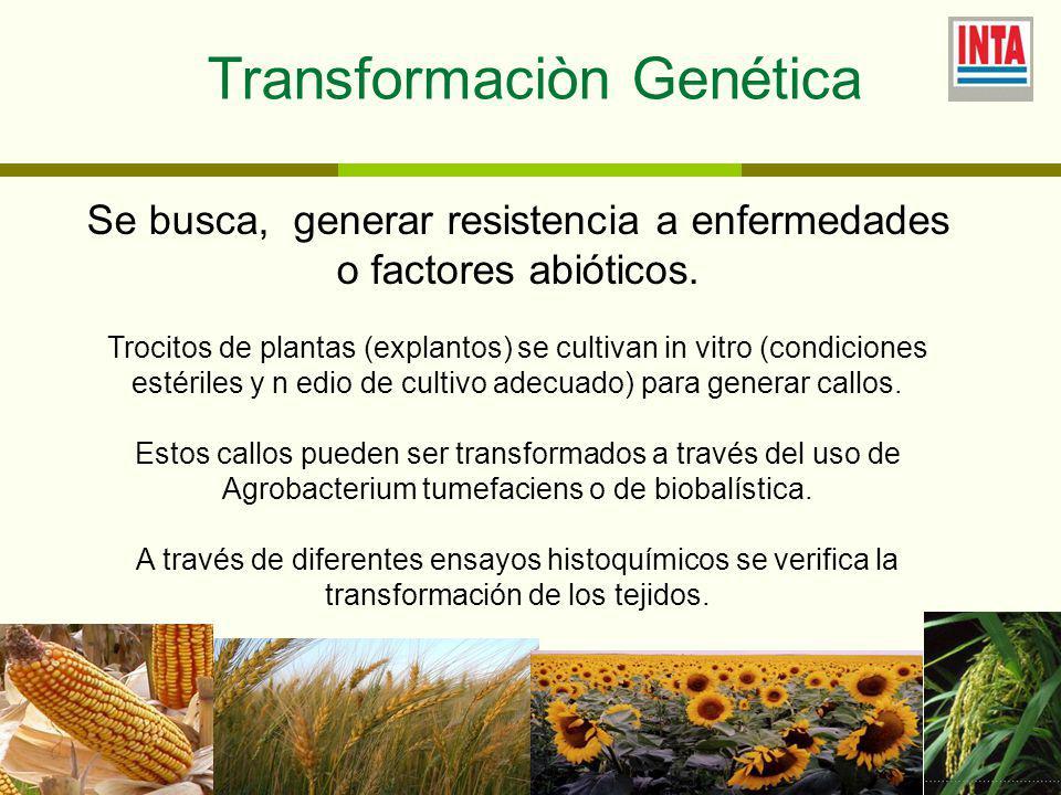 Transformaciòn Genética
