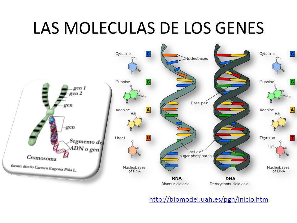 LAS MOLECULAS DE LOS GENES