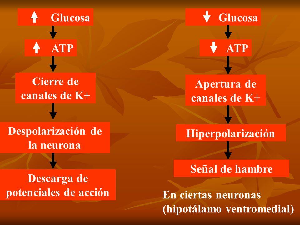 Apertura de canales de K+