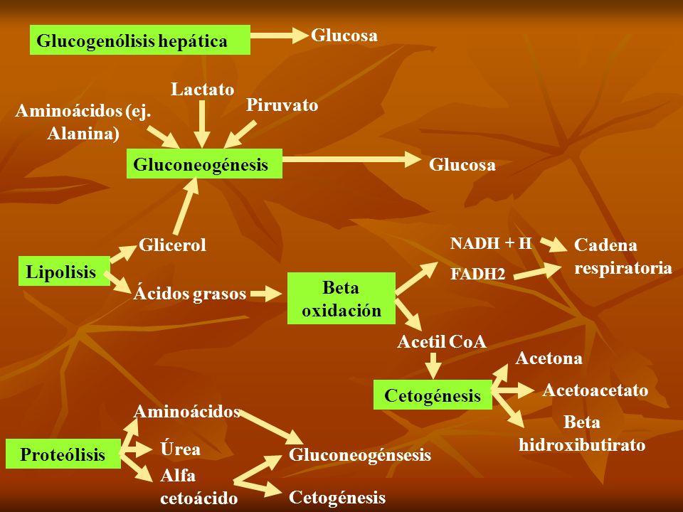 Aminoácidos (ej. Alanina)