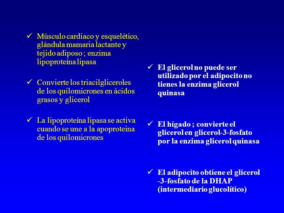 Músculo cardiaco y esquelético, glándula mamaria lactante y tejido adiposo ; enzima lipoproteína lipasa