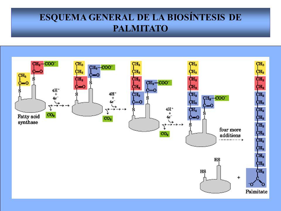 ESQUEMA GENERAL DE LA BIOSÍNTESIS DE PALMITATO
