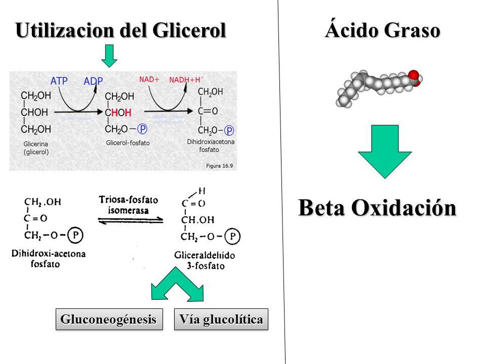 Beta Oxidación Utilizacion del Glicerol Ácido Graso Gluconeogénesis