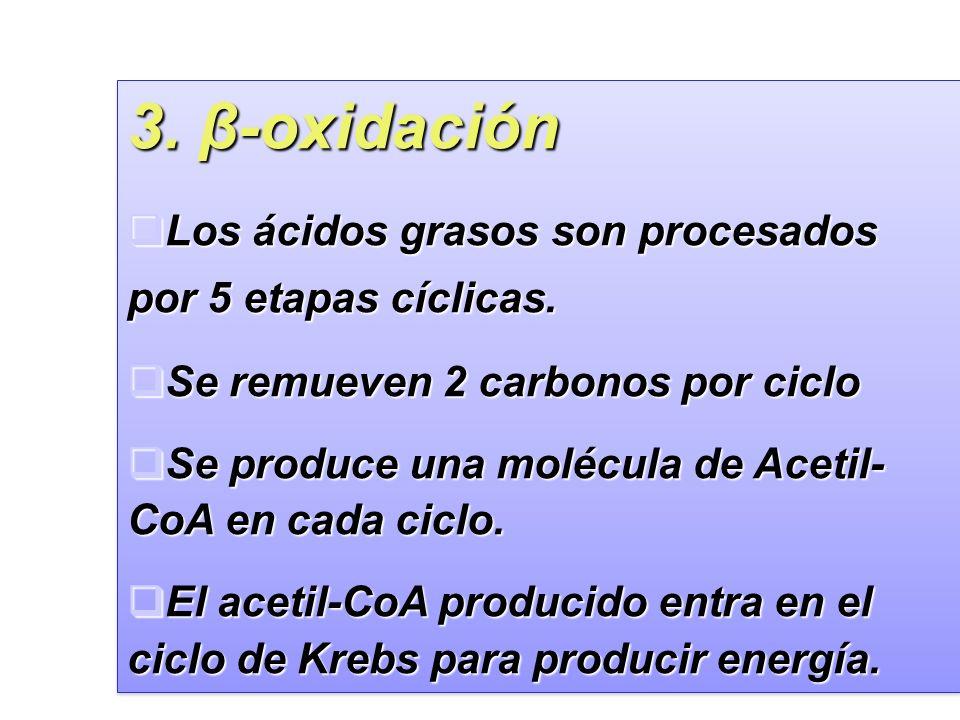 3. β-oxidación Los ácidos grasos son procesados por 5 etapas cíclicas.
