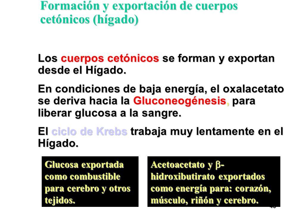 Formación y exportación de cuerpos cetónicos (hígado)