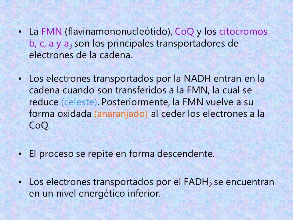 La FMN (flavinamononucleótido), CoQ y los citocromos b, c, a y a3 son los principales transportadores de electrones de la cadena.