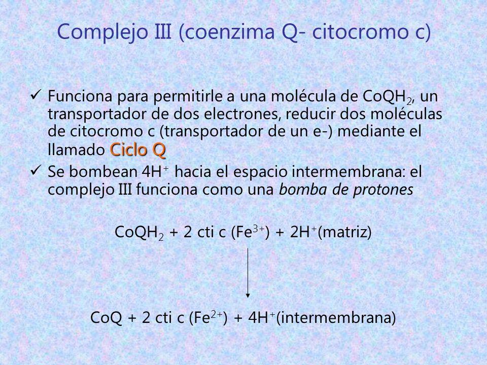 Complejo III (coenzima Q- citocromo c)