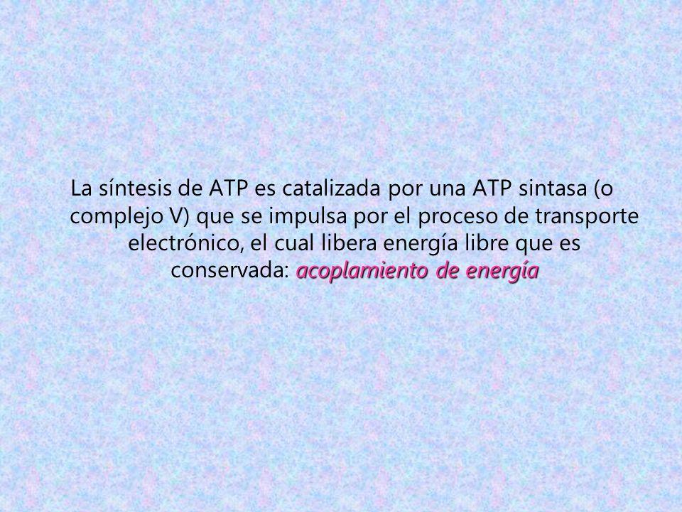 La síntesis de ATP es catalizada por una ATP sintasa (o complejo V) que se impulsa por el proceso de transporte electrónico, el cual libera energía libre que es conservada: acoplamiento de energía