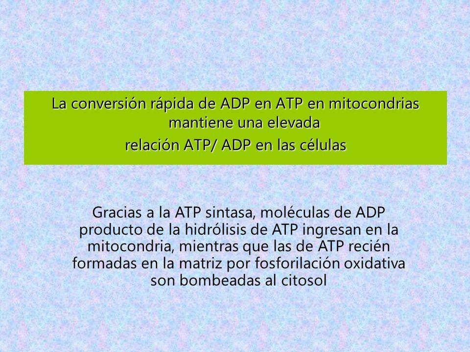 relación ATP/ ADP en las células