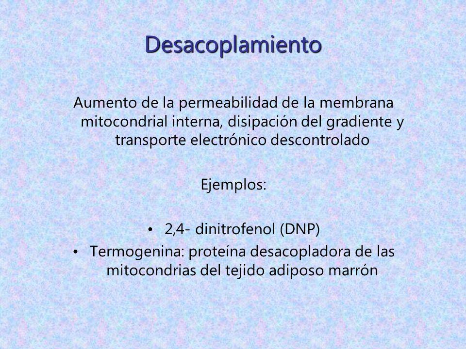 Desacoplamiento Aumento de la permeabilidad de la membrana mitocondrial interna, disipación del gradiente y transporte electrónico descontrolado.
