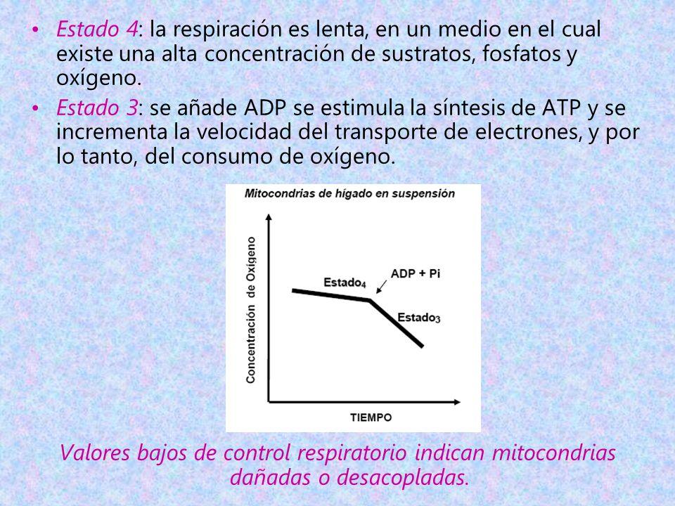 Estado 4: la respiración es lenta, en un medio en el cual existe una alta concentración de sustratos, fosfatos y oxígeno.