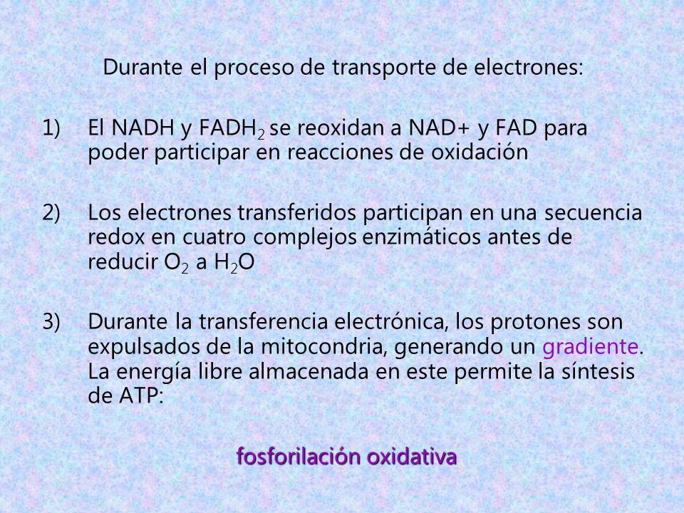 Durante el proceso de transporte de electrones: