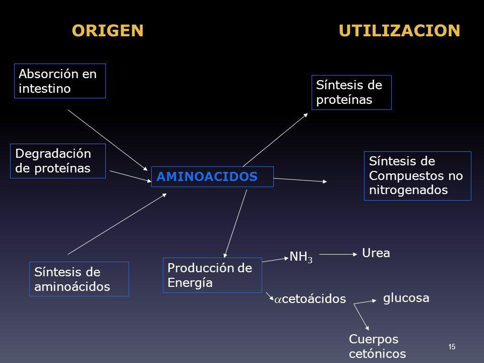 ORIGEN UTILIZACION Absorción en intestino Síntesis de proteínas